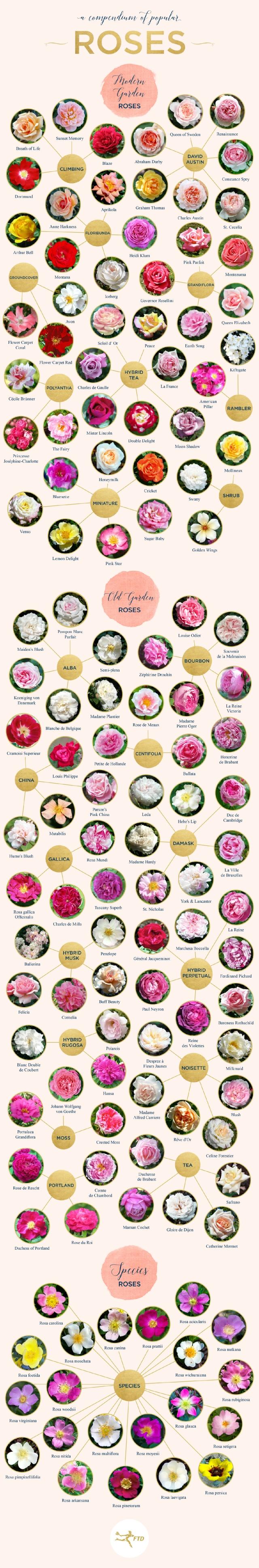 rose-compendium-infographic